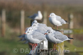 Black-headed Gulls Chroicocephalus ridibundus in  non breeding plumage (winter) plumage Salthouse Norfolk November