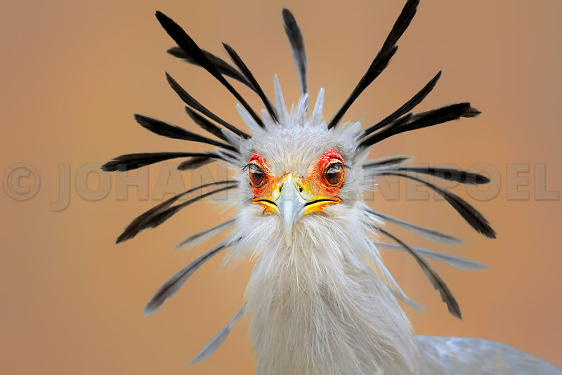 Secretary bird (Sagittarius serpentarius)  portrait