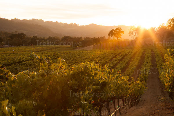 add to stock, agriculture, California, Calistoga, landscape, Napa Valley, rolling hills, stock, summer, trellised vines, valley floor, vines, vineyard, vineyard rows, wine country