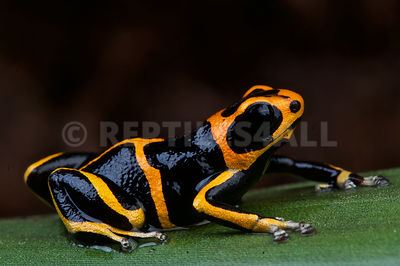 Huallaga dart frog (Ranitomeya summersi) photos