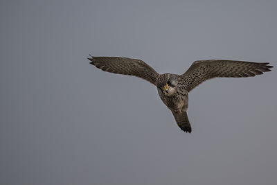 Stunning kestrel hovers mid air looking for breakfast
