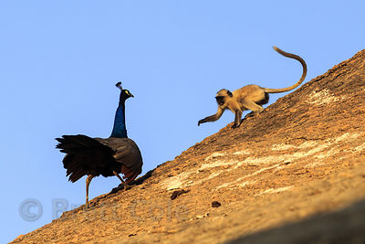 A baby langur monkey teases a wild peacock on a huge boulder, Ajaypal, Rajasthan, India