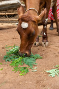Dairy cow eating freshly picked leaves from a Fodder Tree. Kenya.