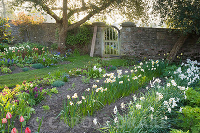 Cutting garden with rows of Narcissus poeticus, auriculas and tulips. Brilley Court Farm, Whitney-on-Wye, Herefordshire, UK