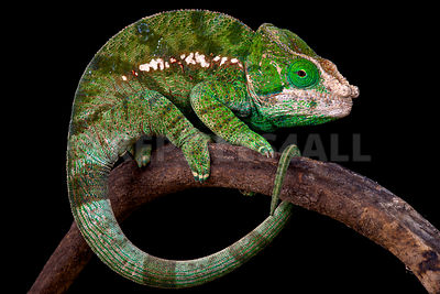 Globe-Horned Chameleon (Calumma globifer) photos