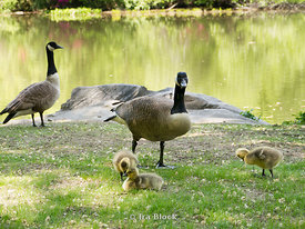 Canadian goose and gosling on grass at Central Park, NY.