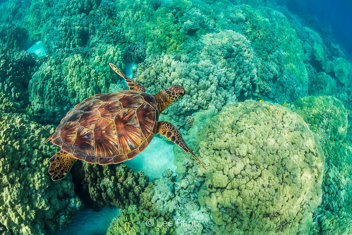SEA TURTLE 1: Sailing Over the Reef