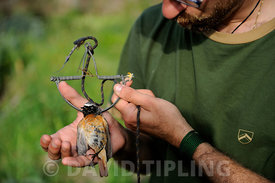 Andrea Rutigliano activist from KABS (Campaign against Bird Slaughter) holding a Redstart Phoenicurus phoenicurus migrant male caught in spring / clap trap (also known as sep trap) Ponza Italy April