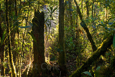 Early morning scene in primary forest, Las Nubes, Costa Rica