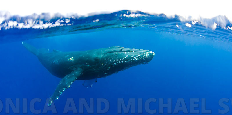 whale_under_over_hawaii_3