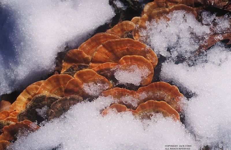 Red Turkey tails in snow