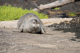 hawaiian_monk_seal_big_island_02062015-56