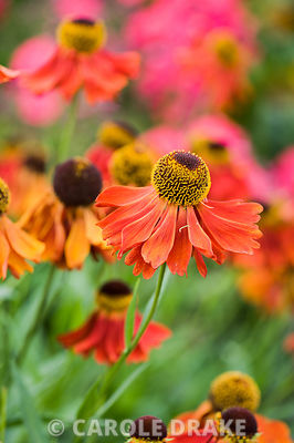 Helenium 'Moerheim Beauty'.