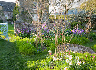 Cutting garden with purple honesty, tulips and Narcissus 'Geranium' surrounding hazel wigwams ready to support sweetpeas. Brilley Court Farm, Whitney-on-Wye, Herefordshire, UK