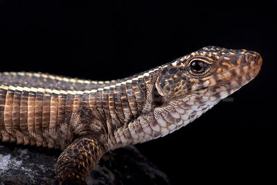 Giant plated lizard (Matobosaurus validus) photos