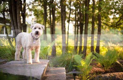 blond groomed dog on stone steps in park with ferns and sunshine