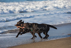 Two chocolate labs running with stick on beach