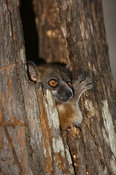 Red tailed sportive lemur in a tree hole, Lepilemur ruficaudatus, Kirindy forest, Madagascar