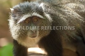 Blue Monkey Gaze