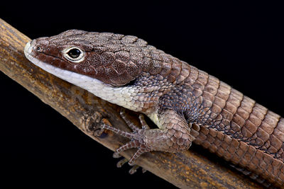 Bronze black-eyed Alligator lizard (Abronia sip)  photos