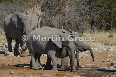 Group of African Elephants (Loxodonta africana) drinking at artificially-constructed part of Kalkheuwel waterhole, Etosha National Park, Namibia