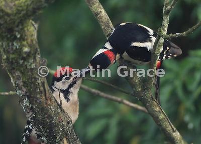 Male Great Spotted Woodpecker (Dendrocopus major) (right) feeding a juvenile in a garden Lilac tree (Syringa sp), Cumbria, England