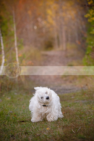 small white groomed terrier dog shaking in trail