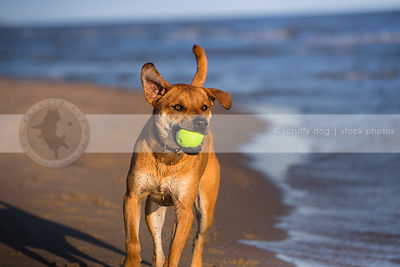 red cross breed dog fetching ball running on lake shore sand