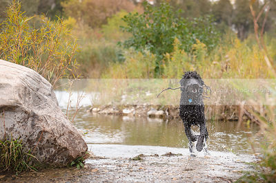 black wet shaggy dog running out of river with stick