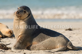 sea_lion_australian_beach_relax-6