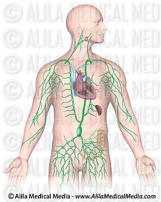 Lymphatic System Images images