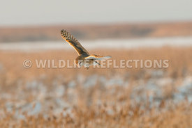 barn_owl_winter_flight-4