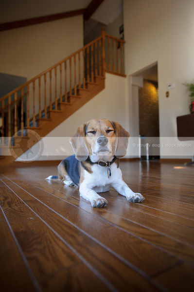 beagle dog eyes closed resting on hardwood floor indoors