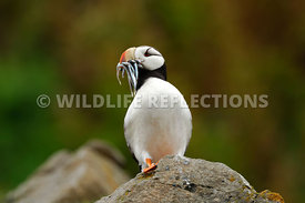 Horned Puffin Lookout 6