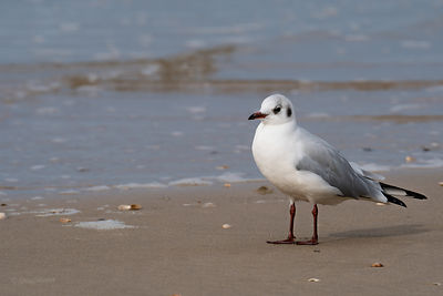 Black-headed gull at the sea shore
