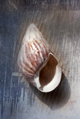 Botanical Sea Shell, Fairyland Photography,