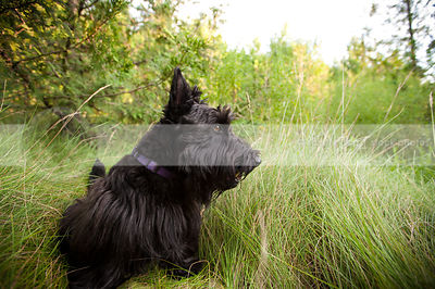 short black scottish terrier dog sitting in grasses with trees