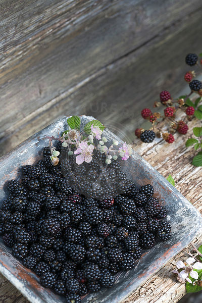 Fresh wild blackberries in blue ceramic dish on rustic wood bench outdoors