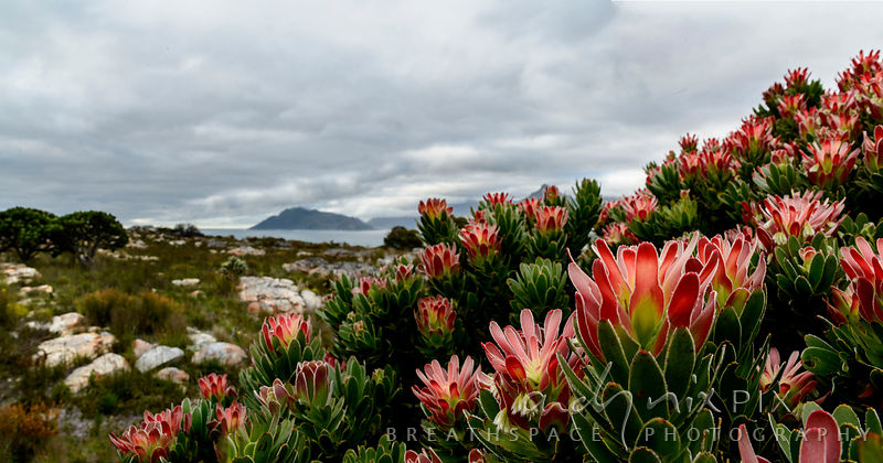 Protea leaucadendron bush in flower, Chapman's Peak and Hout Bay in distance.