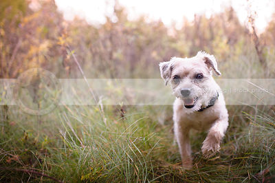 little terrier dog hunting in grass