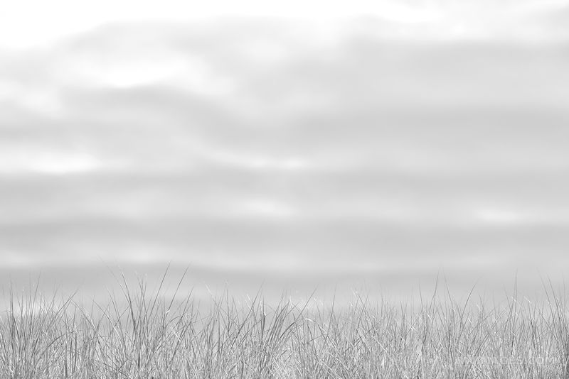 BEACH GRASSES NANTUCKET ISLAND BLACK AND WHITE