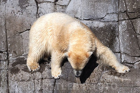 Rock climbing Polar Bear
