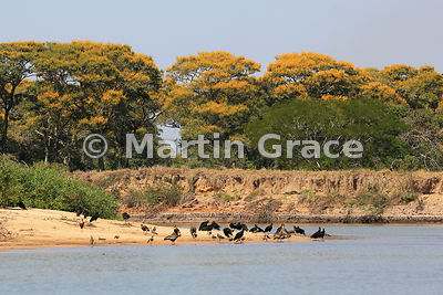 Spectacular yellow blossom of Vochysia divergens trees behind a bird-covered sand spit, River Cuiabá, Mato Grosso, Brazil