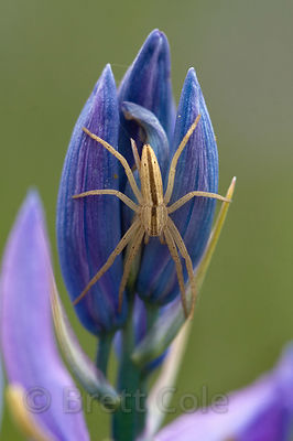 Spider on Blue Camas (Camassia quamash) in the Willamette Valley, Oregon, an important plant to indigenous inhabitants (Kalapuya)