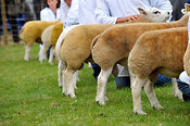 Judging the Beltex sheep classes at the Highland Show