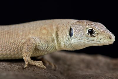 Kurdistanian ocellated lizard (Timon kurdistanicus) photos
