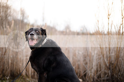 humorous senior black labrador retriever sitting by reeds