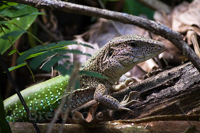 Undentified lizard, common along the Tambopata River, Peruvian Amazon