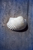 Botanical Sea Shell