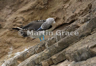 Blue-Footed Booby (Sula nebouxii excisa) preening its tail feathers on the stratified volcanic ash cliffs of Punta Pitt, San Cristobal